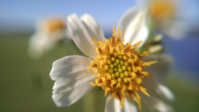 Macro photograph of a daisy captured with a smartphone and macro lens