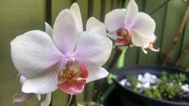 Closeup photograph of an orchid taken with a smartphone