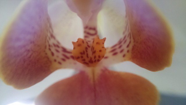 Macro photograph of the same orchid taken with a smartphone and macro lens